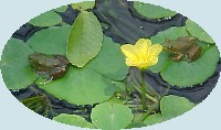 Frogs on Lily pads at the National Zoo, July 2001
