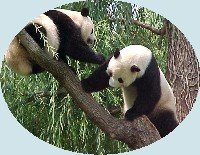 Pandas at the National Zoo, July 2001
